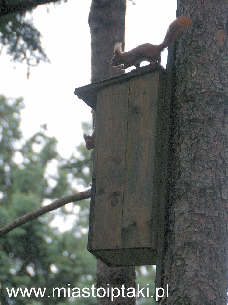 Wiewiórki też potrafią bawić się w chowanego