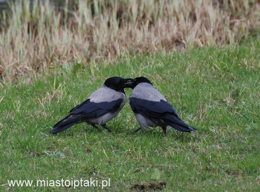Karmienie partnera to jeden z rytuałów godowych, nie tylko u ptaków