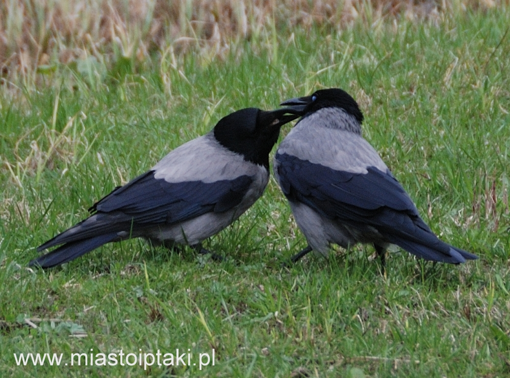 Wrona siwa (Corvus cornix) karmiąca partnera