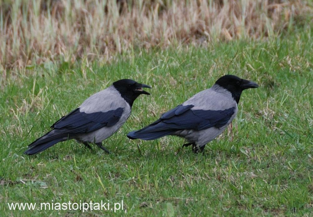 Troskliwa para – wrony siwe
