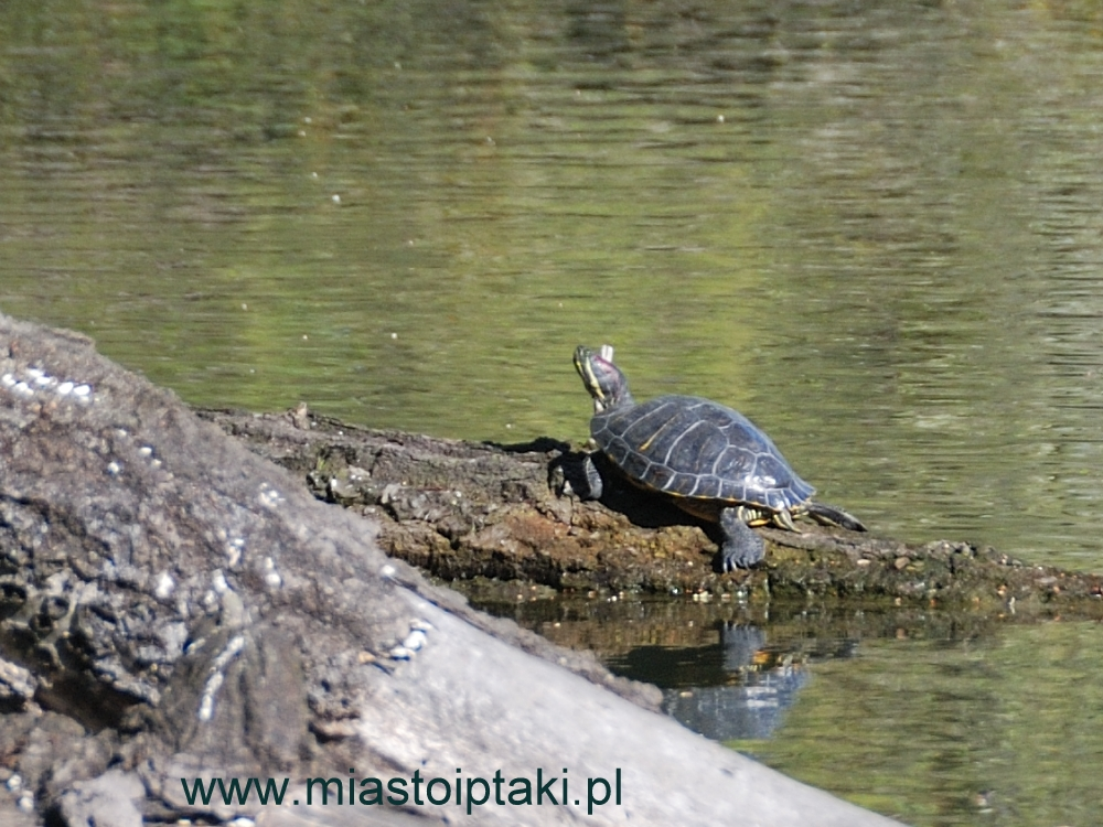 Ten żółw czerwonolicy mieszka tu już od kilku lat