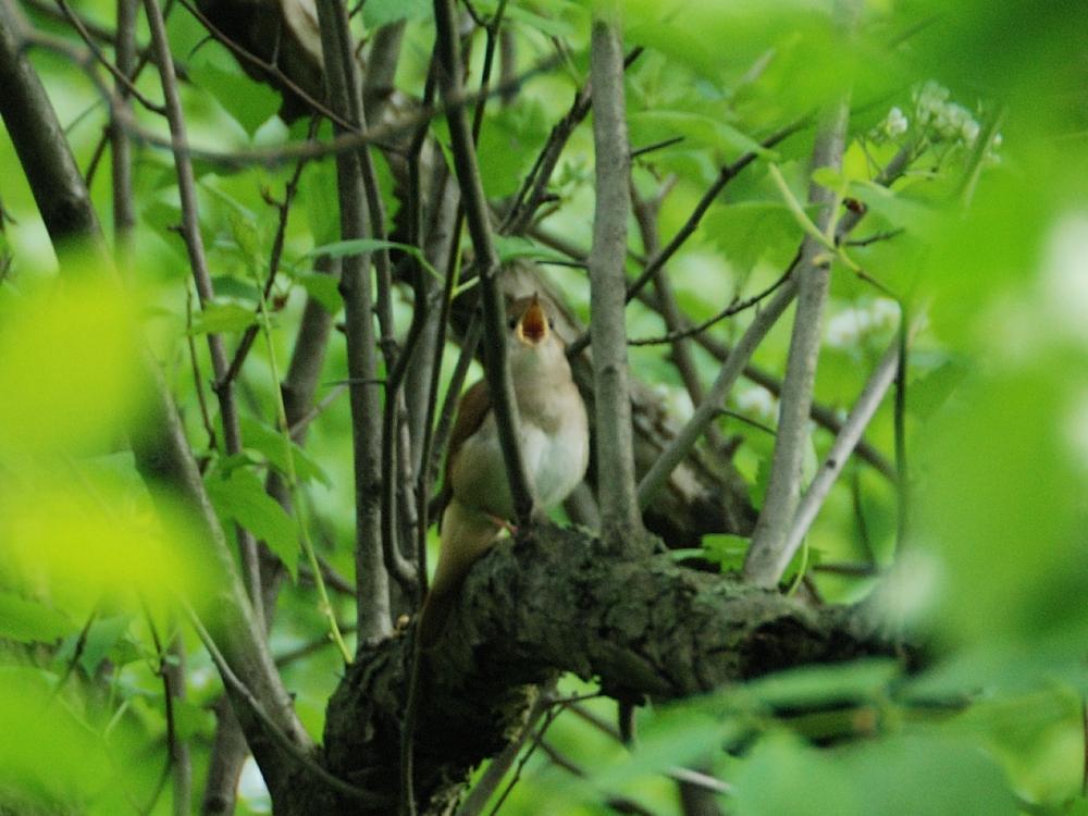 Solista Ptasich Chórów