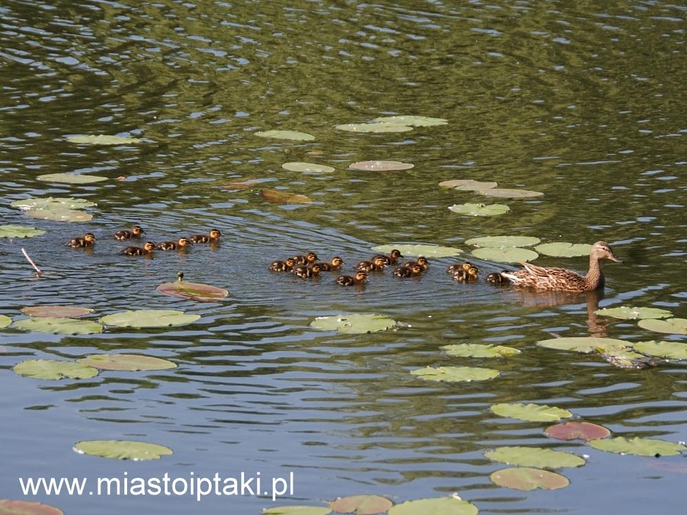 Kacze przedszkole na jeziorku Kamionkowskim