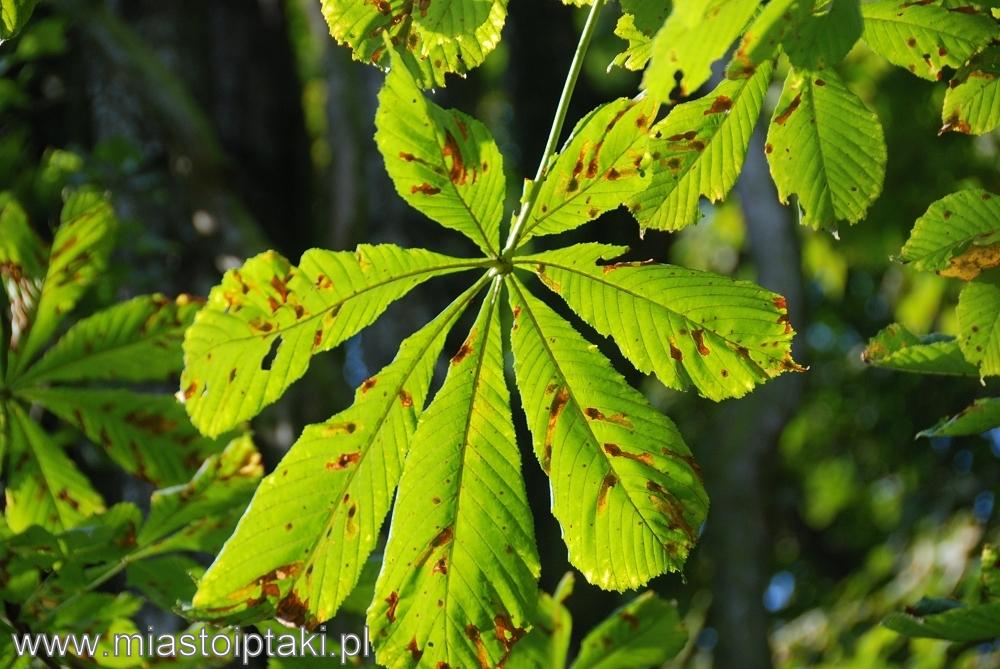 Jesienny liść kasztanowca zabezpieczonego wiosną specjalną opaską  (poza terenem parku)