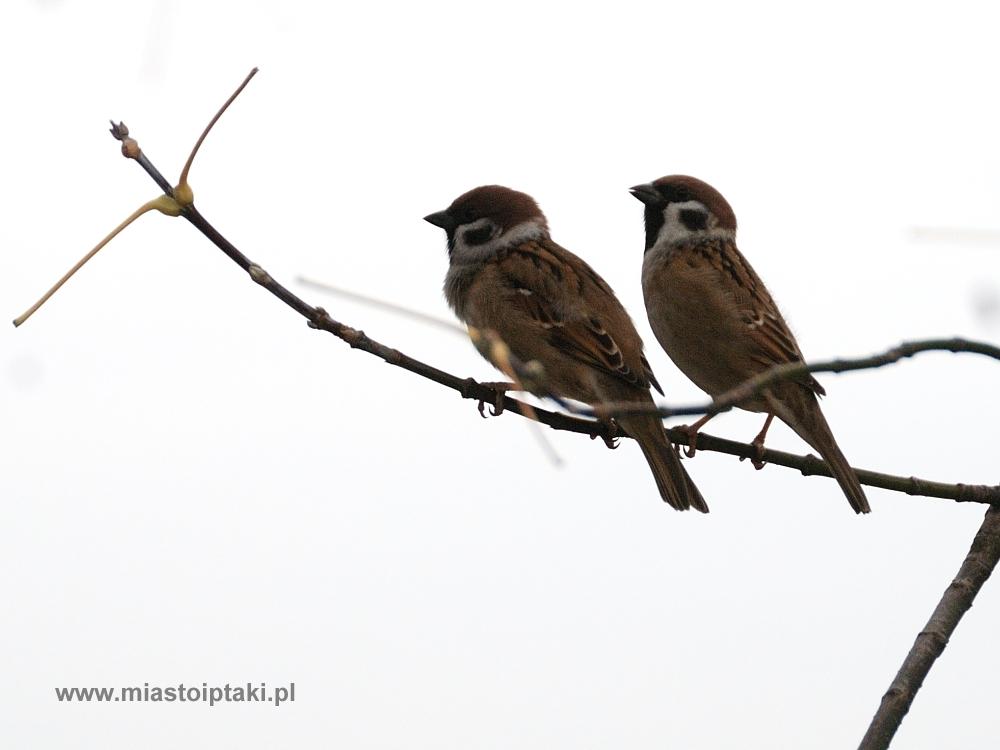 Ptakiem Zimowego Ptakoliczenia 2012 jest mazurek