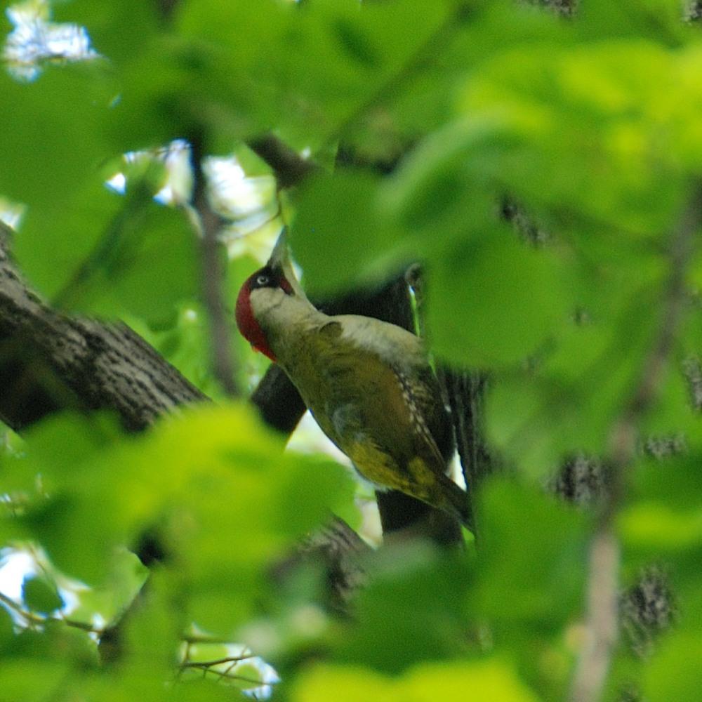 Dzięcioł zielony – może nie śpiewa, ale jego głos słychać na wszystkich okolicznych osiedlach