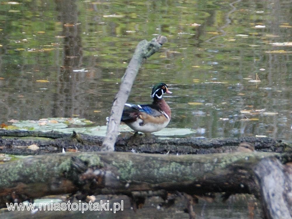 Samiec karolinki w parku Skaryszewskim