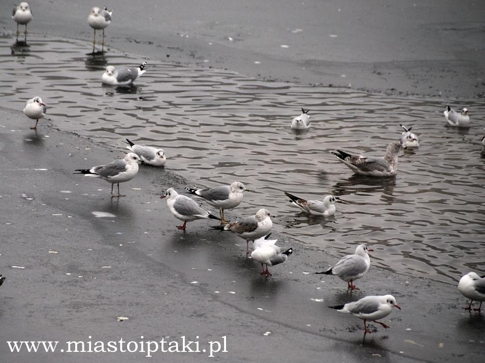 Mewy na jeziorku Kamionkowskim
