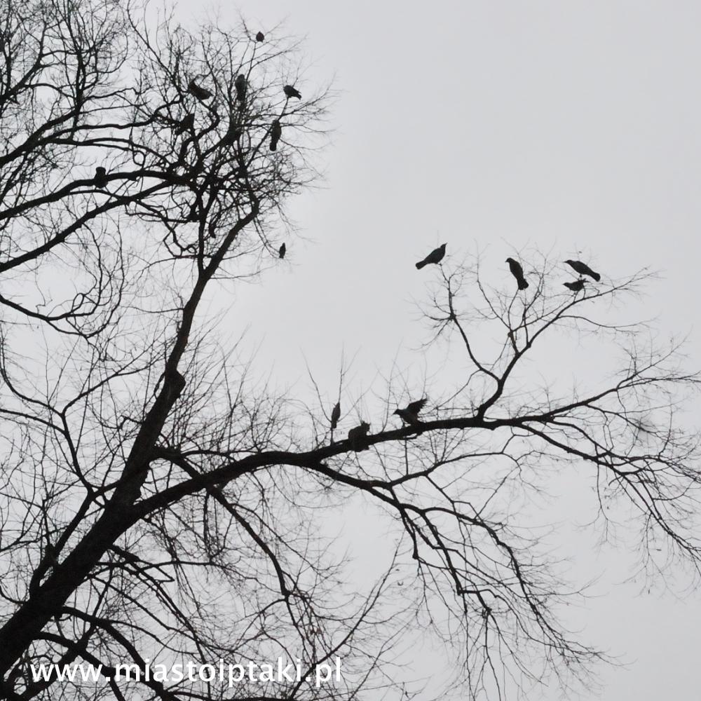 Wrony bronią swojego terytorium przed drapieżnikiem