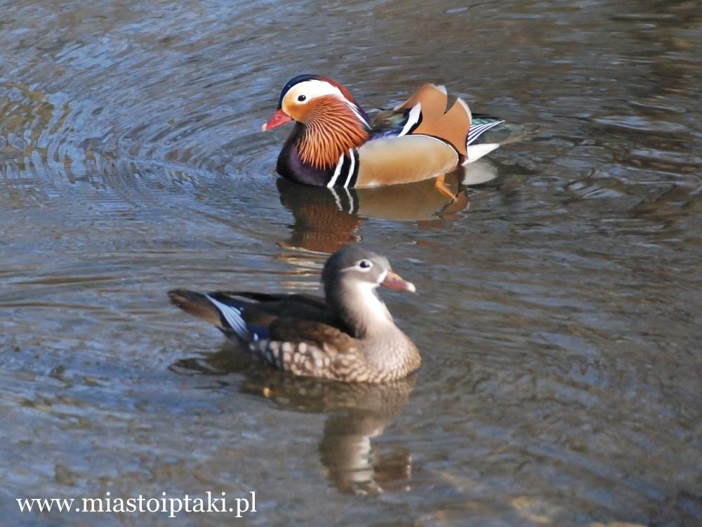 Kaczki mandarynki w parku Skaryszewskim